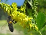 Мёд жёлтого донника